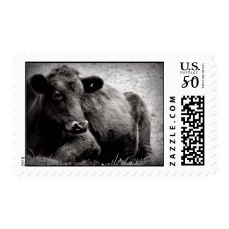 Angus Cow Photo in Black and White Postage