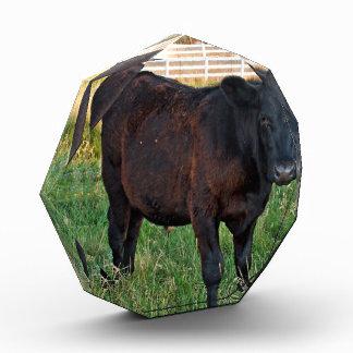 Angus steer in green fields acrylic award