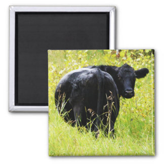 Angus Steer in Tall Yellow Grass 2 Inch Square Magnet