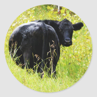 Angus Steer in Tall Yellow Grass Round Sticker