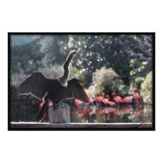 Anhinga Drying Poster -60x40 -other sizes also