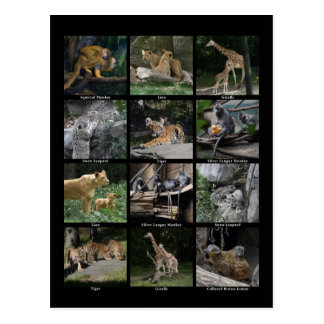 Animal Baby Collage Post Card