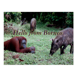 Animal Borneo del orangután Postales