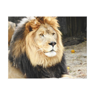 Animal Collection - African Lion Canvas Print