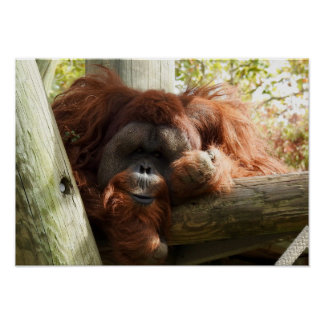Animal Collection - Red Orangutan Poster