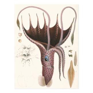 Animal de la vida marina del vintage, calamar del  tarjetas postales