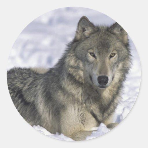 Animal In Snow Classic Round Sticker