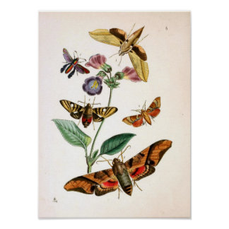 Animal-Insect-Butterfly-Rare-Book-Oriental-Entymol Poster