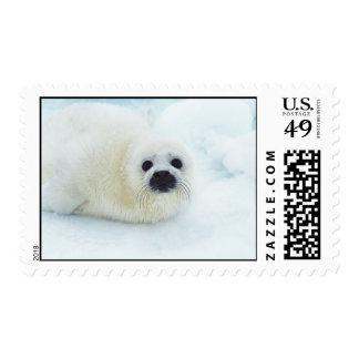 Animal lindo del bebé de cría de foca en el sellos