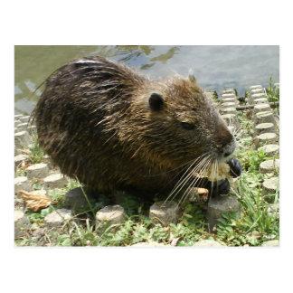 """animal postcard """"nutria rat"""""""