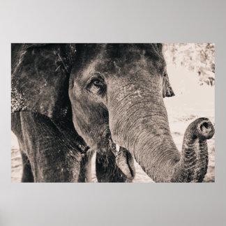 Animales blancos y negros de África del elefante Póster