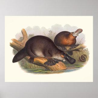 Animales de Australia el Platypus cargado en Póster
