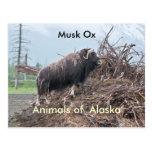 Animales del buey del Alaska-almizcle Postal