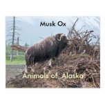 Animales del buey del Alaska-almizcle Tarjeta Postal