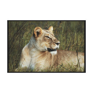 Animals Africa lion panthera leo Gallery Wrap Canvas