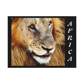 Animals Africa lion panthera leo Gallery Wrapped Canvas
