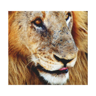 Animals Africa lion panthera leo Stretched Canvas Print
