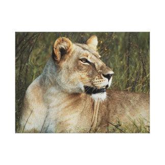 Animals Africa lion panthera leo Canvas Print