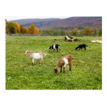 Animals Goats Pasture Vermont Photo Postcard