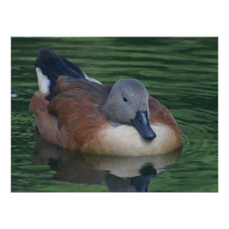Animals - Gray Brown Duck Posters