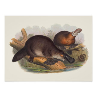 Animals Of Australia The Duck Billed Platypus Poster