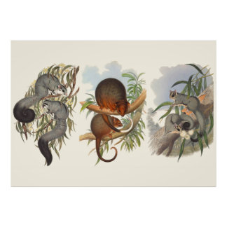 Animals Of Australia The Three Possums Poster