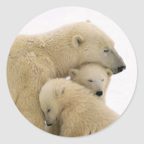 animals-polar-bear classic round sticker