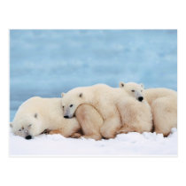 animals-polar-bear postcard