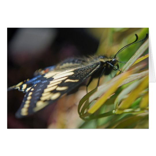 Anise swallowtail butterfly card