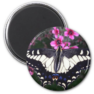 Anise Swallowtail Butterfly Photo Magnet