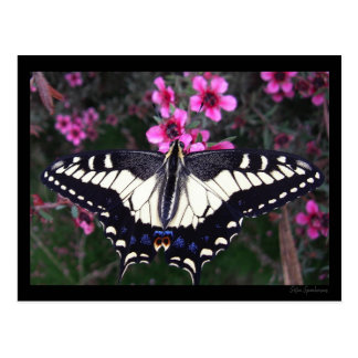 Anise Swallowtail Butterfly Postcard