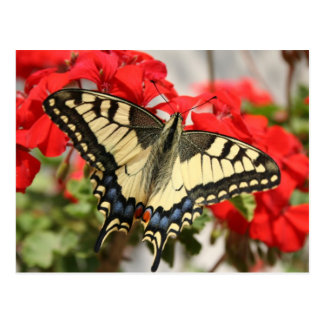 Anise Swallowtail Postcard