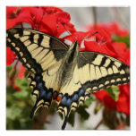 Anise Swallowtail Poster Print