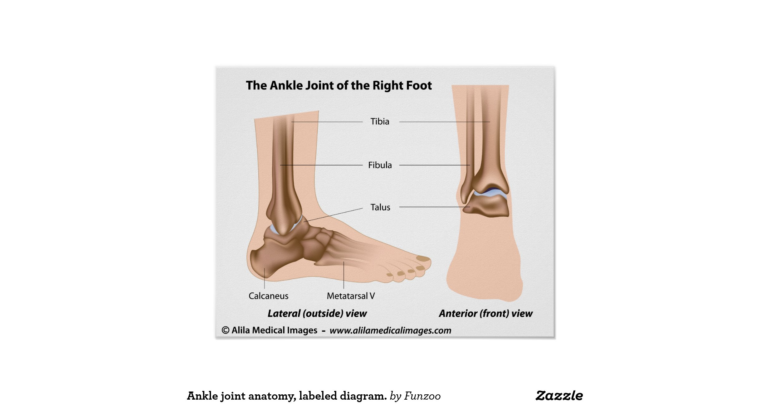 Ankle Joint Anatomy Labeled Diagram Poster