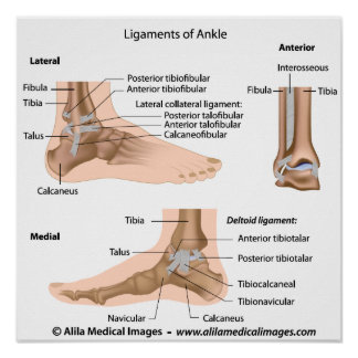 Ankle ligaments labeled drawing posters