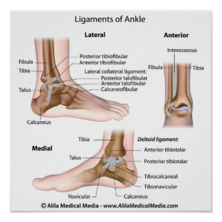 Ankle ligaments, labeled drawing. poster