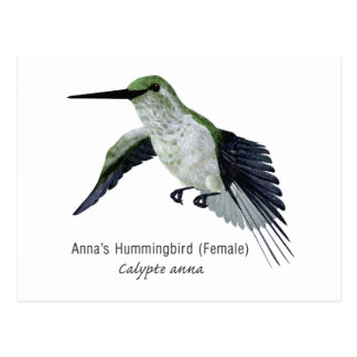 Annas' Female Hummingbird with Name Postcard