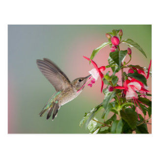 Anna's Hummingbird and Fuschia Postcard