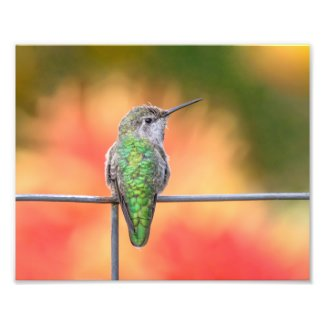 Anna's Hummingbird at Rest on Barbed Wire Photo Print