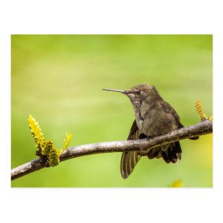 Anna's Hummingbird at rest Postcard