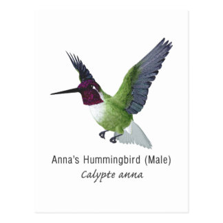 Anna's Hummingbird Male with Name Postcard