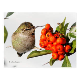 Anna's Hummingbird Poses with the Pyracantha Postcard