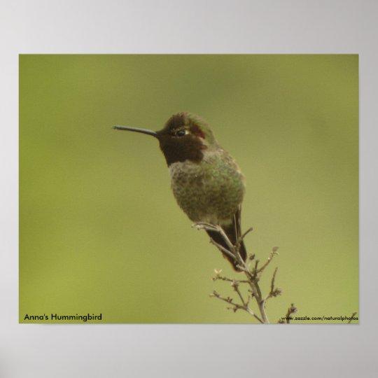 Anna's Hummingbird profile Poster