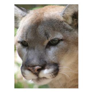 Annoyed Mountain Lion Postcard