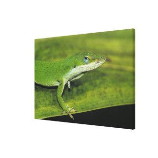 Anole verde, carolinensis del Anolis, adulto en la Impresión En Lona