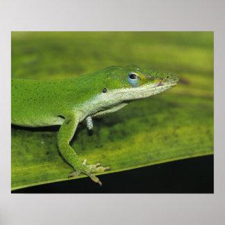 Anole verde, carolinensis del Anolis, adulto en la Posters