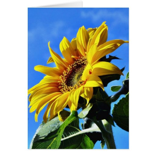 Another Of The Sunflowers On My Balcony Greeting Card