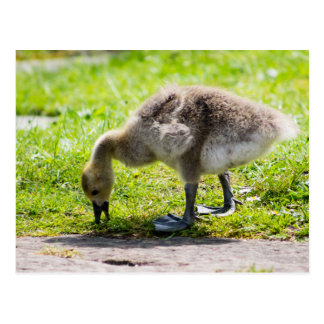 Ansarón adorable del ganso de Canadá Postales