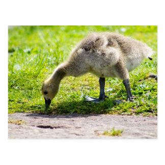 Ansarón adorable del ganso de Canadá Postal