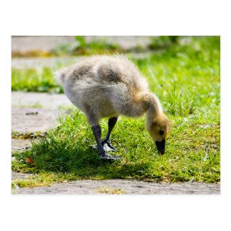 Ansarón adorable del ganso de Canadá Tarjetas Postales